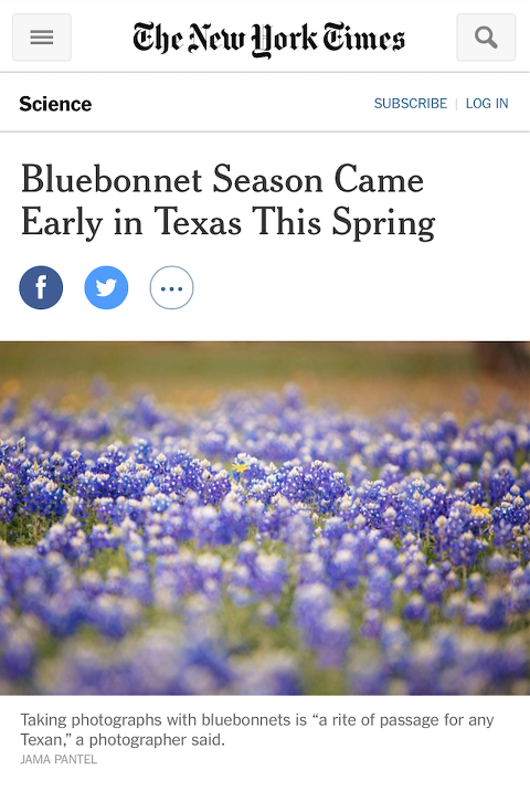 Photographer in Austin Tx New York Times Published Bluebonnets