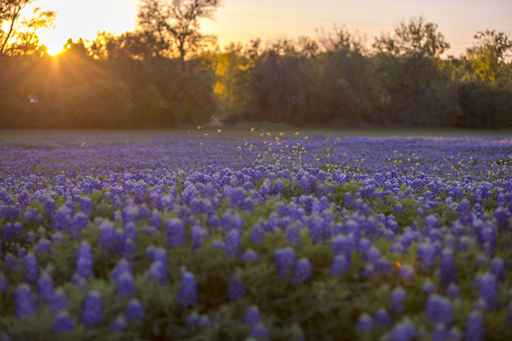 10 tips for taking amazing bluebonnet pictures bluebonnets at sunset Austin Texas